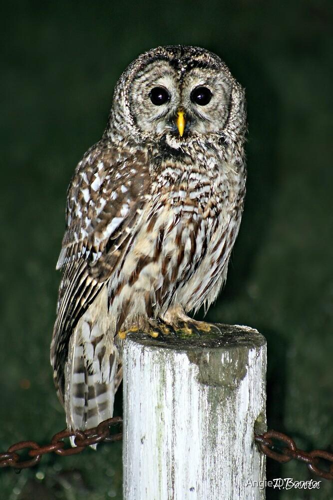 Neighborhood Owl by Angie O'Connor