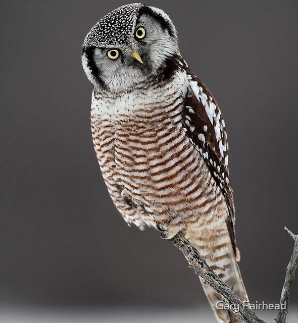 Tilted / Northern Hawk- Owl by Gary Fairhead