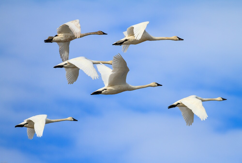 Tundra Swans: February Rest Stop by John Williams