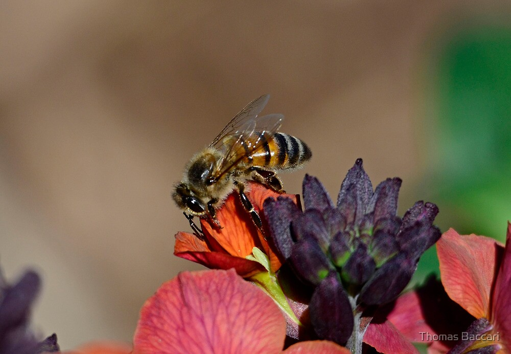 February Bee in South Carolina by TJ Baccari Photography