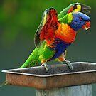 Rainbow Lorikeet in our yard. Brisbane, Queensland, Australia. (2) by Ralph de Zilva