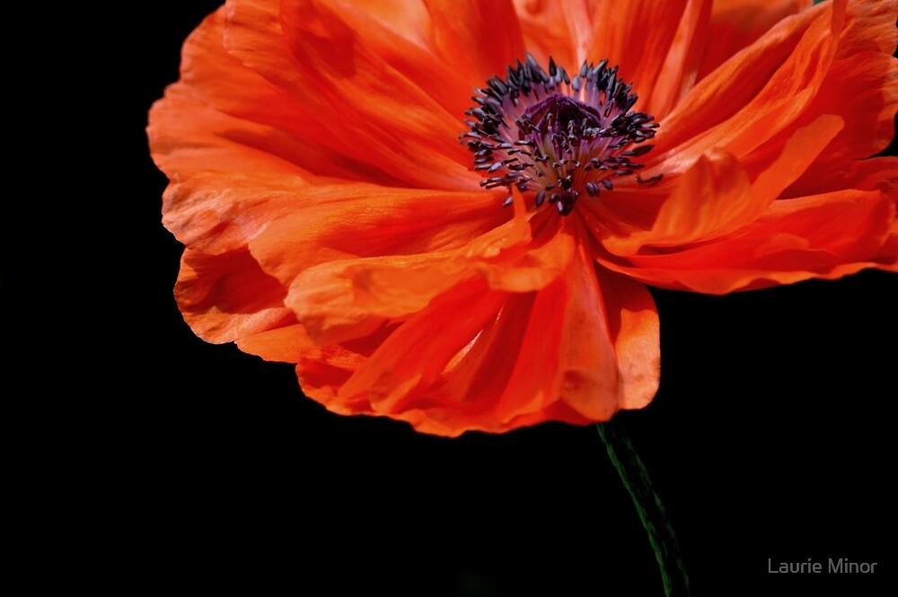 Poppy by Laurie Minor
