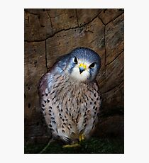 Falco tinnunculus or the common Kestrel Photographic Print
