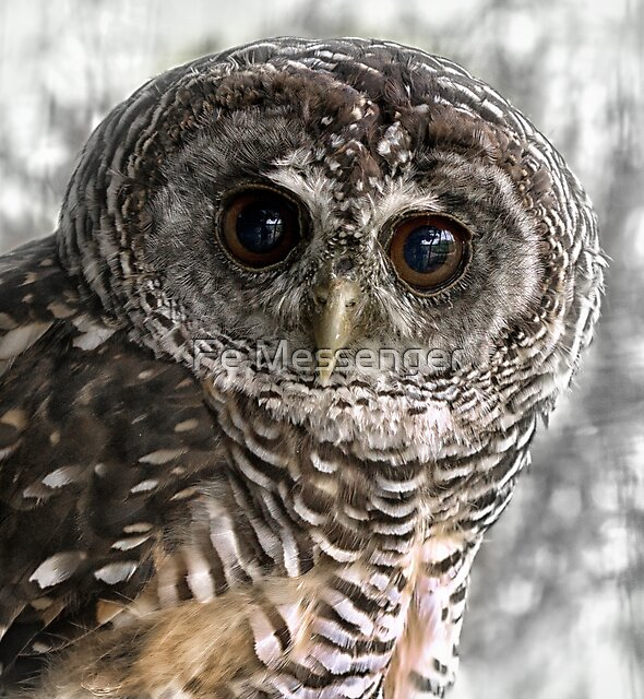 Chaco Owl by Fe Messenger