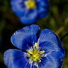 Blue Flax 3 by Karl Eschenbach