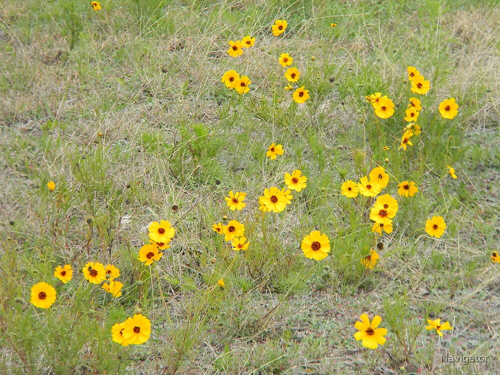 Beginning Spring In the Coreopsis Field by Navigator