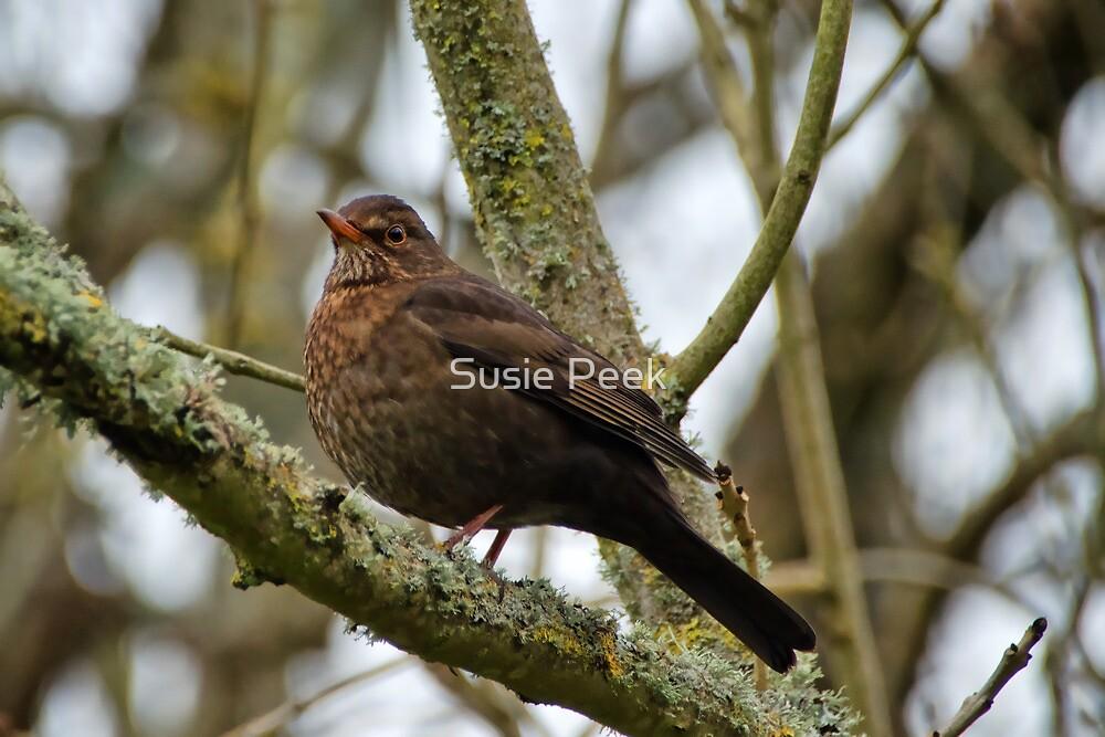 Female Blackbird by Susie Peek