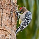 Gila Woodpecker by George I. Davidson