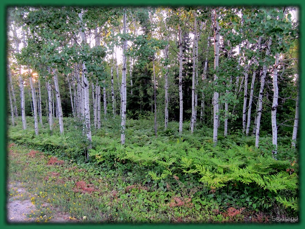 Approaching the birch grove by Smaragd