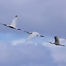 Spoonbills In Flight  by Kym Bradley