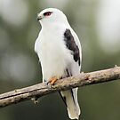 Black Shouldered Kite  no  2 by Kym Bradley