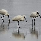 Three Amigo's  Spoonbills by Kym Bradley