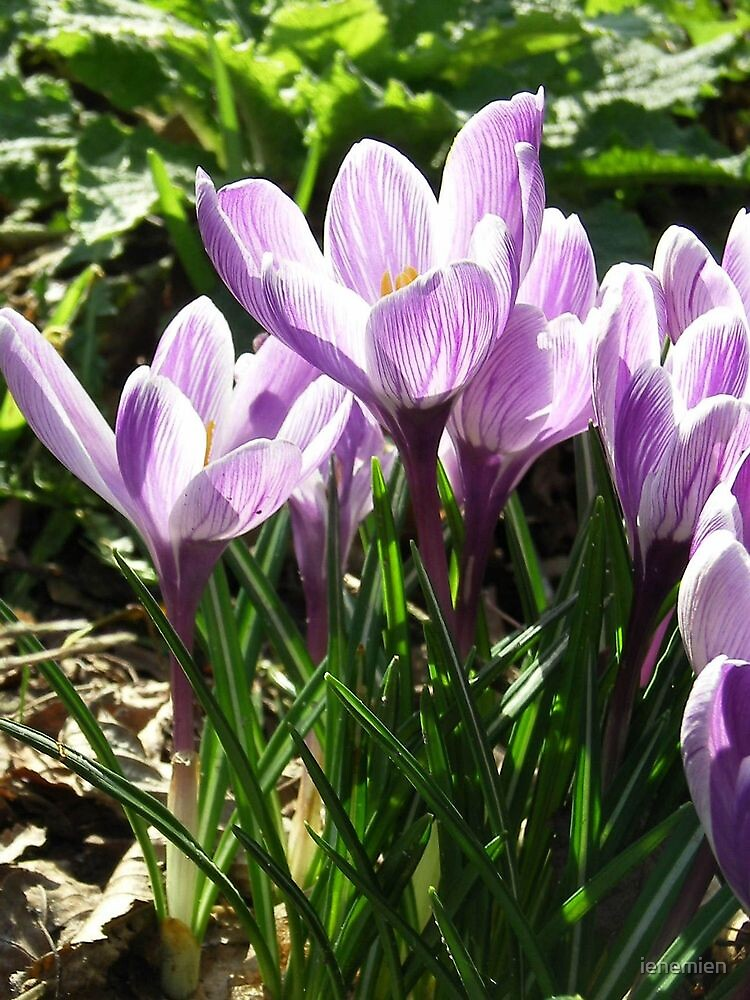 Crocus Flower - Its Spring! by ienemien