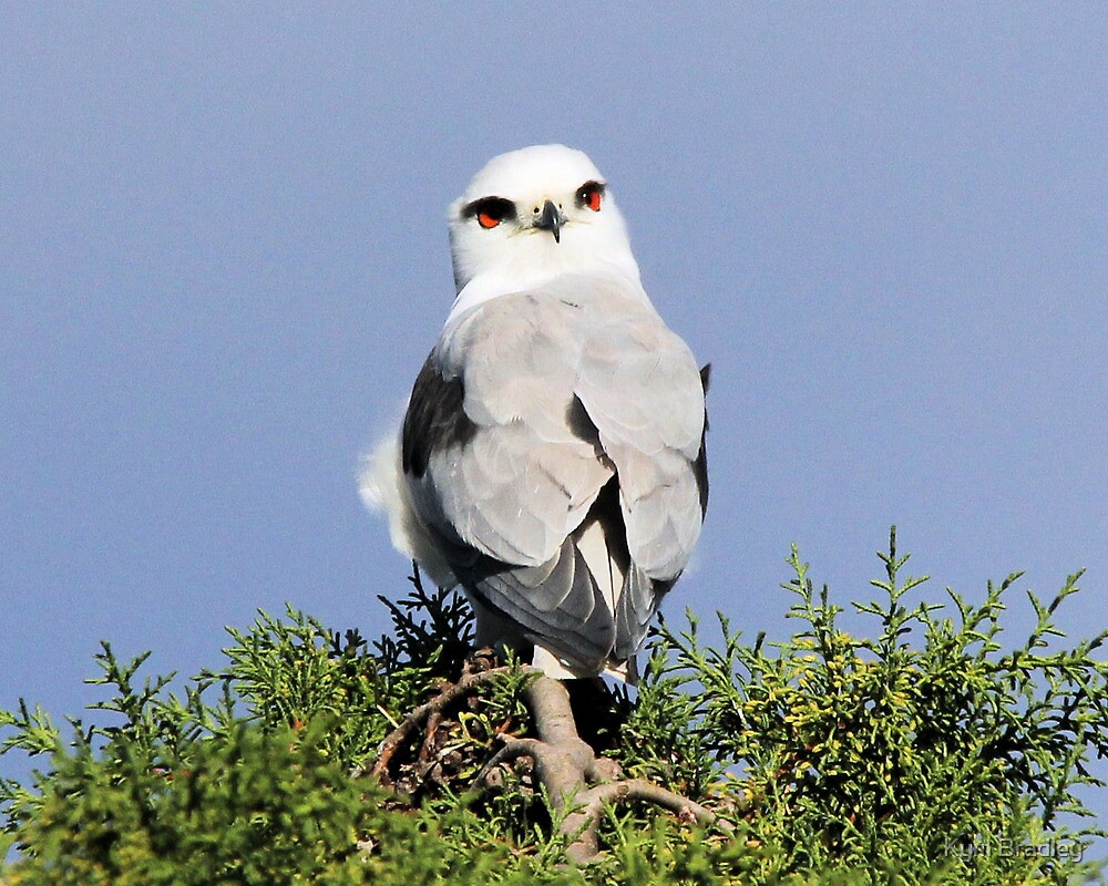 Oh its You Black Shouldered Kite  by Kym Bradley