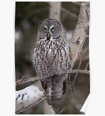 Great Grey Owl - Ottawa, Canada Poster