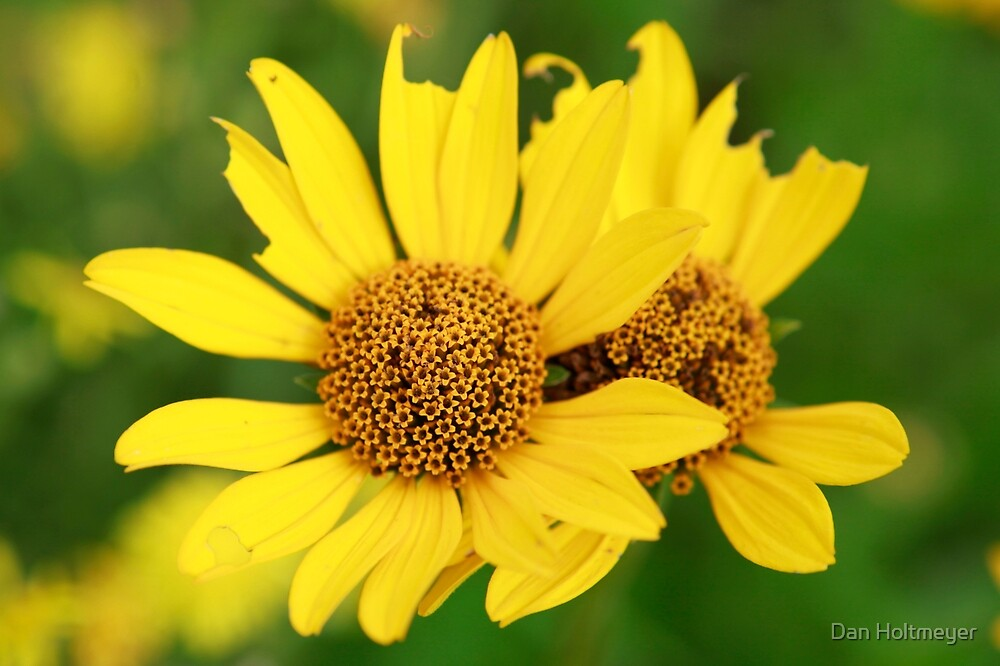 Oxeye bouquet by Daniel Holtmeyer