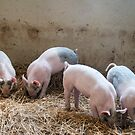 The 4 Little Pigs by gharris