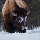 Hungry Bull Bison by Rose Vanderstap