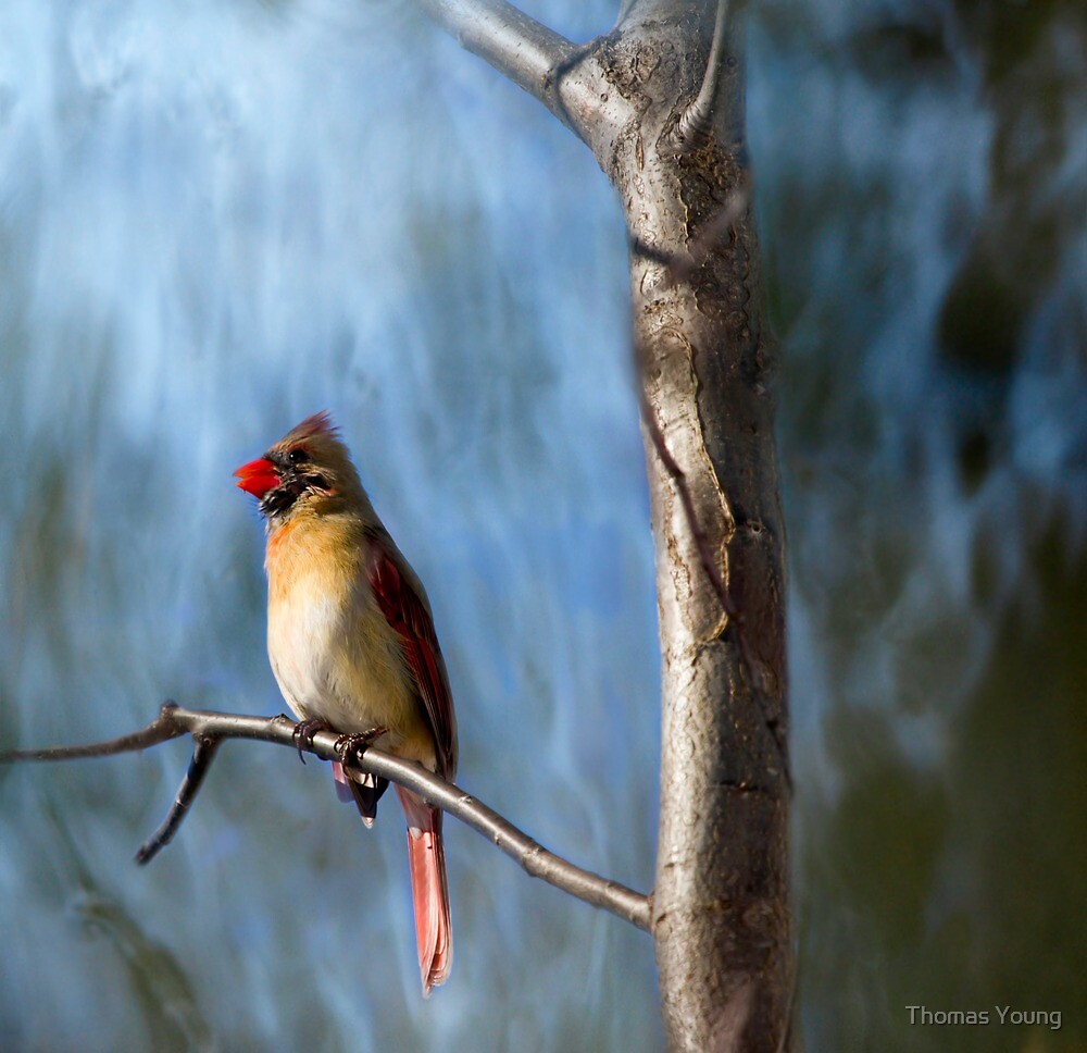 Artistic Female Northern Cardinal by Thomas Young