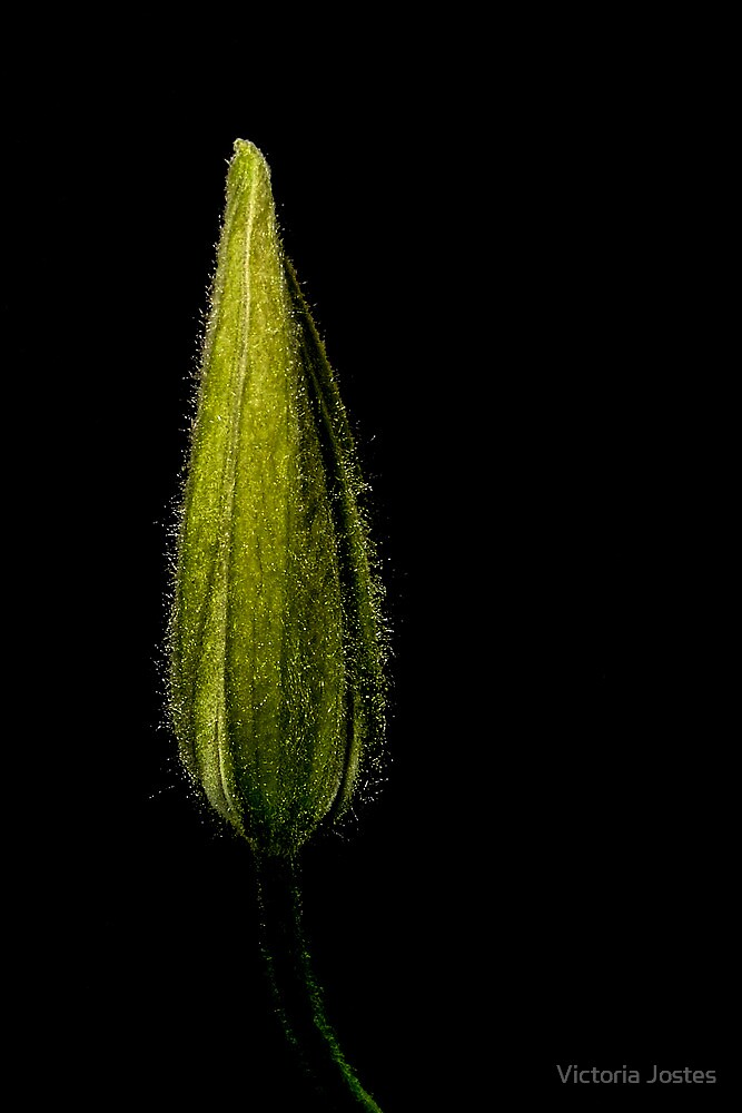 Solitary Bud by Victoria Jostes