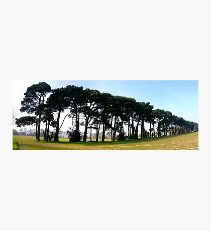 A Fine Line of Pine Photographic Print