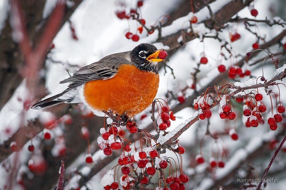 Robin with Crab Apple in the Snow by Kenneth Keifer