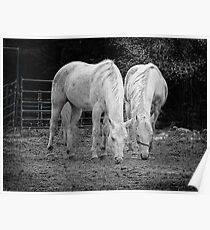 Pair of White Horses Poster