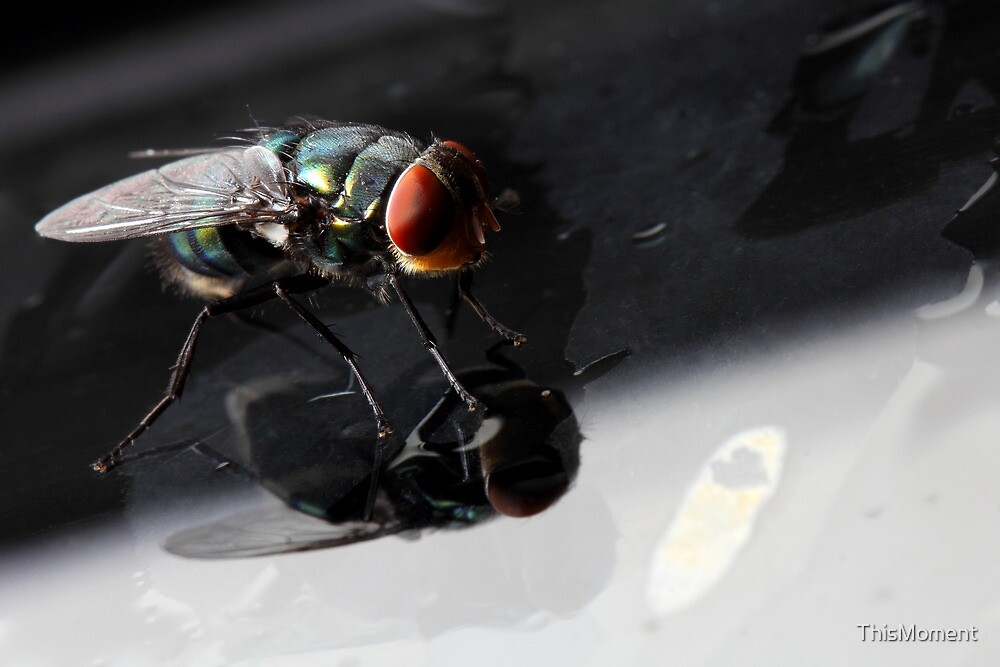 Blowfly 1 by ThisMoment