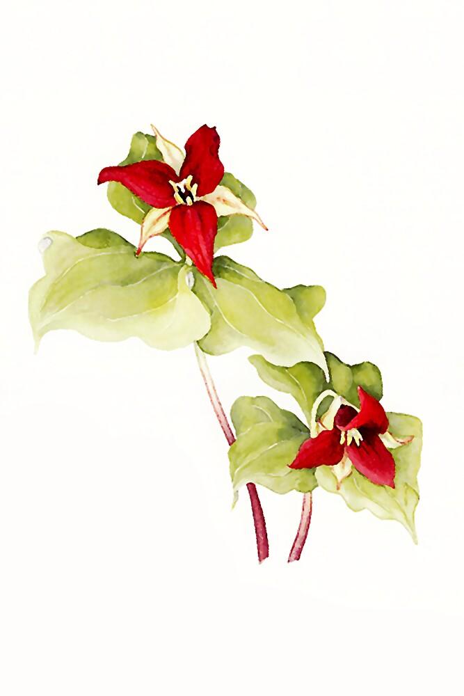 Red Trillium (Trillium erectum) by Terry Bailey