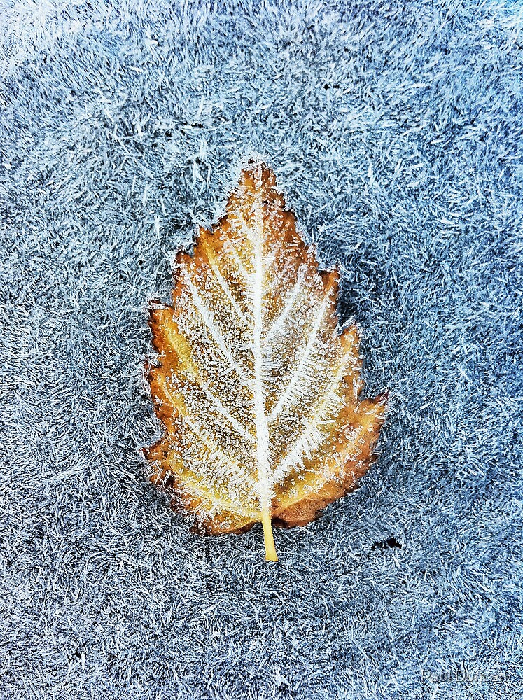 Frosty leaf by Paul Duncan