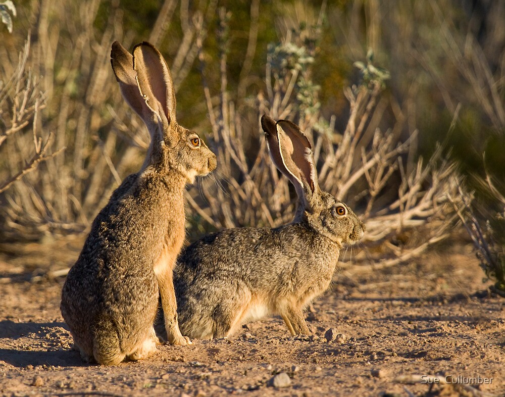 Big Eared Cousins by Sue  Cullumber