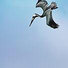 Diving Pelican by Ticker