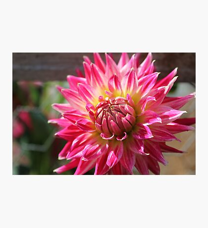 Another pretty Dahlia Photographic Print