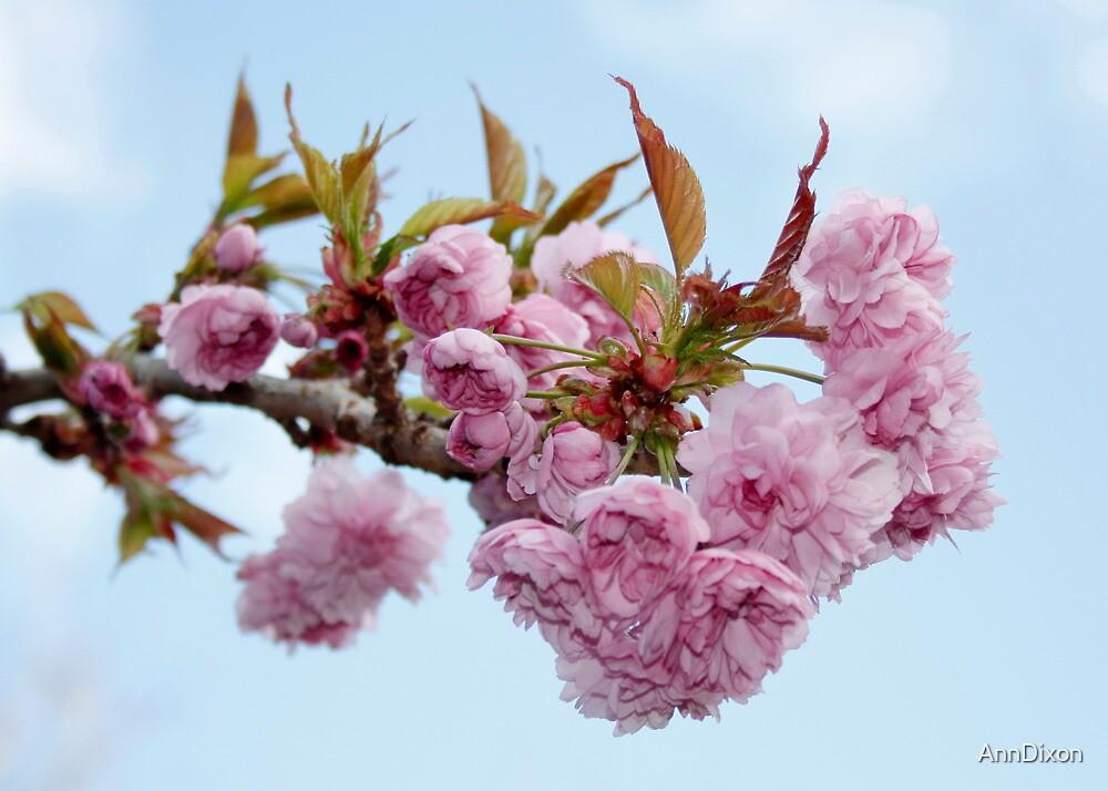 Spring Blossom & Blue Skies by AnnDixon