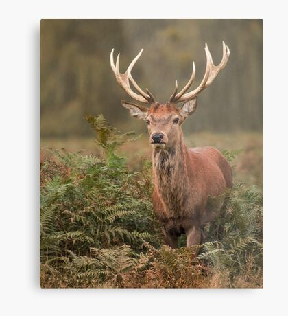Majestic Red Stag Metal Print