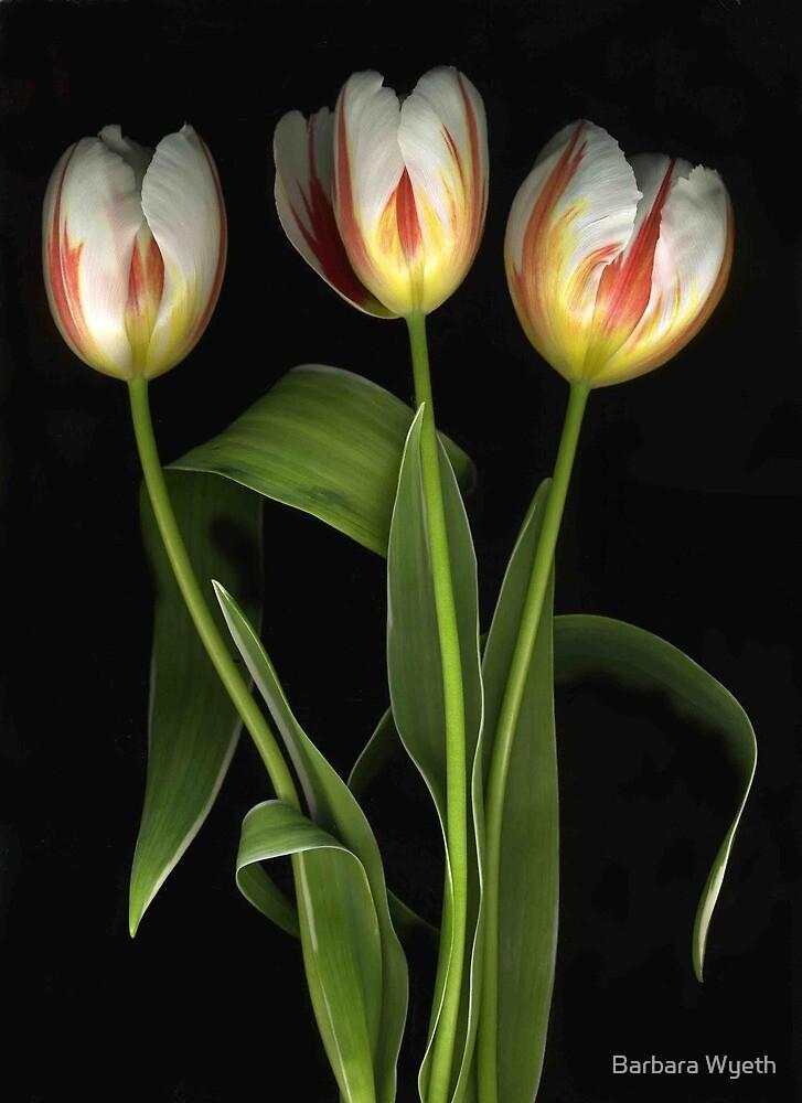 White Tulips. Red Stripes by Barbara Wyeth