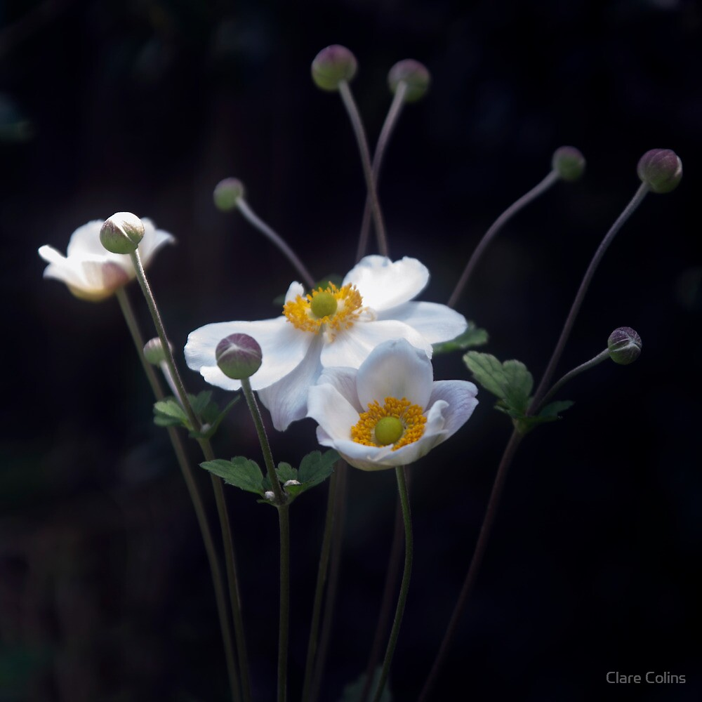 Wind Anemones herald the arrival of Autumn   by Clare Colins