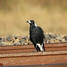 Walk the Line  Magpie on Railway Line  by Kym Bradley