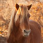 Wild Ponies of Assateague Island by Rob Diffenderfer