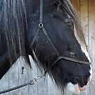 Shire horse by beracox