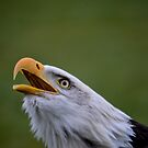 Bald Eagle by Nicole W.