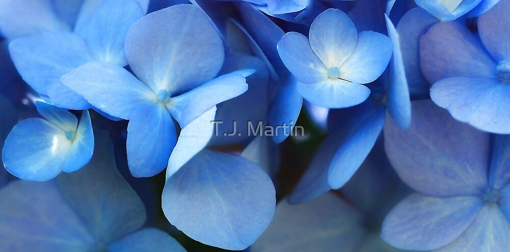 -Endless Summer (Blue Hydrangea) by T.J. Martin