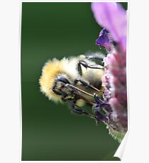 Common Carder Bee 2 Poster