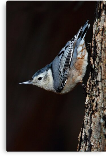 White-Breasted Nuthatch by Jim Cumming