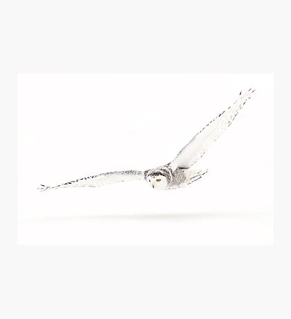 Shadow - Snowy Owl Photographic Print