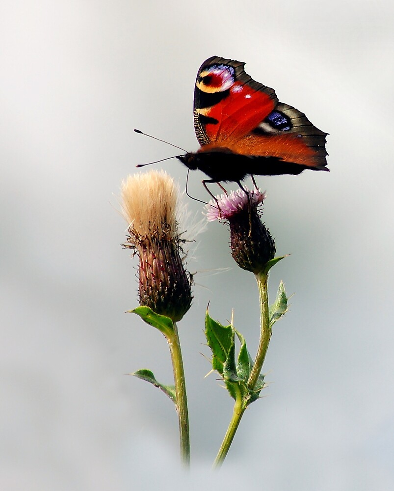 Peacock butterfly by Macrae images