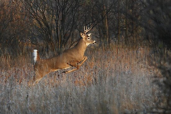 Buck on the Run - White-tailed Deer by Jim Cumming