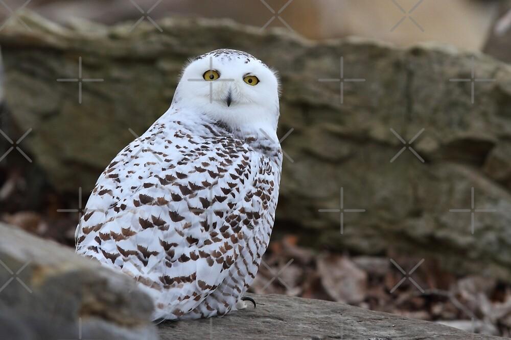 Snowy Owl by Jim Cumming