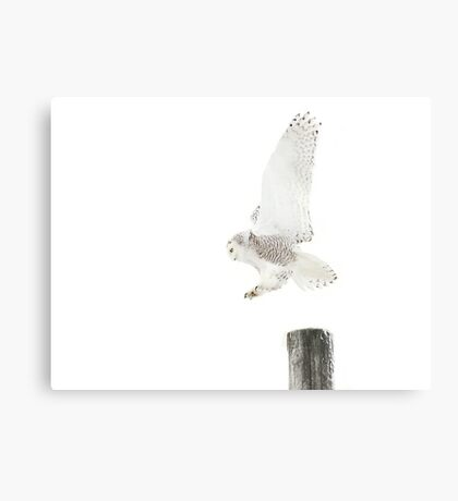Startled 2 - Snowy Owl Canvas Print