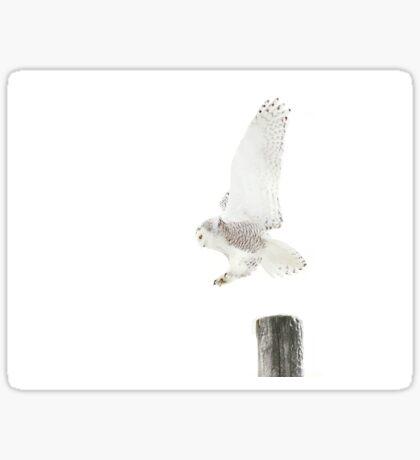 Startled 2 - Snowy Owl Sticker